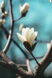 Цветение бутона цветка магнолии весной Стоковые Фото