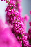 Цветение вереска зимы Эрики gracilis полностью, крупный план Стоковые Изображения RF