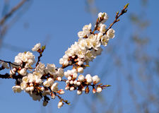 Цветение весны ветви абрикоса, дерева ветви белых цветков Стоковая Фотография