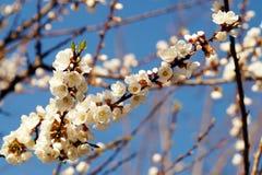 Цветение весны ветви абрикоса, дерева ветви белых цветков Стоковые Фото