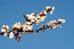 Цветение весны ветви абрикоса, дерева ветви белых цветков Стоковая Фотография RF