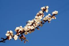 Цветение весны ветви абрикоса, дерева ветви белых цветков Стоковые Изображения