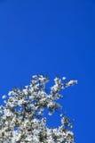 Цветение весны магнолии Стоковые Изображения