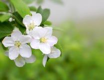 Цветение весны на зеленой предпосылке Стоковые Фото