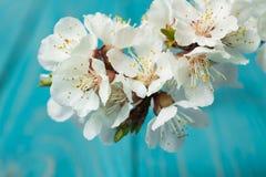 Цветение весны цветет абрикос на голубой деревянной предпосылке Стоковое Фото