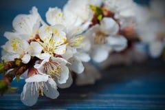 Цветение весны цветет абрикос на голубой деревянной предпосылке Стоковое Изображение