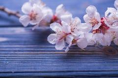 Цветение весны цветет абрикос на голубой деревянной предпосылке Стоковые Фото