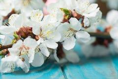 Цветение весны цветет абрикос на голубой деревянной предпосылке Стоковые Изображения