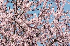 Цветение весны цветков яблони розовое Стоковые Изображения