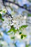 Цветение весны Стоковая Фотография
