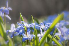 Цветение весны siberica Scilla Стоковая Фотография