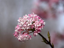 Цветение ветви дерева bodnantense калины Стоковая Фотография RF