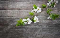 Цветение вишен весны Стоковое Изображение
