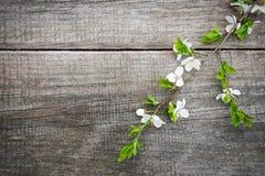 Цветение вишен весны Стоковые Изображения