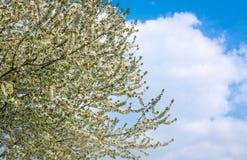 Цветение вишневого дерева против пасмурного голубого неба в весеннем времени Стоковые Изображения
