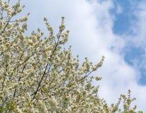 Цветение вишневого дерева против пасмурного голубого неба в весеннем времени Стоковая Фотография RF