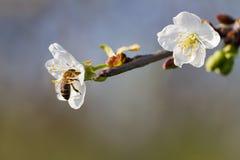 Цветение вишневого дерева стоковое изображение