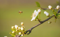 Цветение вишневого дерева в саде Стоковое Изображение
