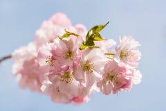 Цветение вишневого дерева против голубого неба Стоковые Изображения RF