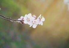 Цветение вишневого дерева Стоковые Изображения RF