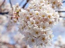 Цветение вишни в японии Стоковое фото RF