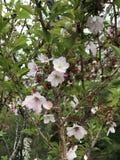 Цветение вишни розовое в Фудзи Стоковое Фото
