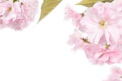 Цветение вишни Стоковые Изображения