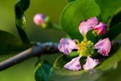 Цветение вишни Стоковое Фото