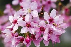 Цветение вишни Стоковые Фотографии RF
