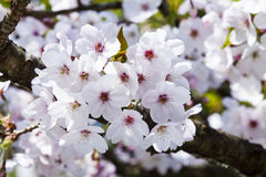 Цветение вишни Стоковые Изображения RF