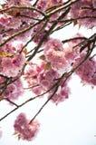 Цветение вишни Стоковое Изображение