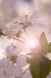 Цветение вишни Стоковая Фотография RF