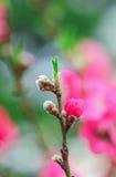 Цветение вишни стоковые фото