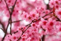 Цветение вишни Стоковая Фотография