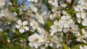 Цветение вишни сток-видео