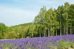 Цветение в лете, Япония лаванды Стоковые Изображения RF