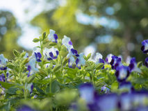 Цветение гороха бабочки в саде Стоковое Изображение