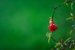Цветение гранатового дерева Стоковое Изображение