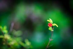 Цветение гранатового дерева Стоковое фото RF