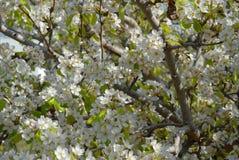 Цветение грушевого дерев дерева, полная рамка, конец-вверх стоковые фотографии rf