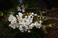 Цветение грушевого дерев дерева белое выходить весной Стоковая Фотография