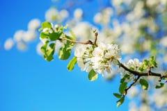 Цветение груши на ветви Стоковая Фотография