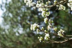 Цветение груши Стоковое Изображение RF
