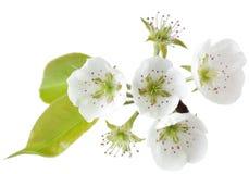 Цветение груши Стоковые Фотографии RF