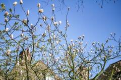 Цветение дерева магнолии с камином дома и голубым небом на предпосылке стоковые фотографии rf