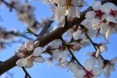 Цветение дерева миндалин, весеннее время в саде, предпосылке природы с голубым небом Стоковые Фотографии RF