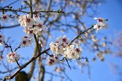 Цветение дерева миндалин, весеннее время в саде, предпосылке природы с голубым небом Стоковое Фото