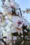 Цветение дерева миндалин, весеннее время в саде, предпосылке природы с голубым небом Стоковое фото RF