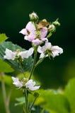 цветение ежевики Стоковое Изображение
