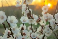 Цветение дерева весны в цвете желтого цвета восхода солнца захода солнца Стоковое фото RF
